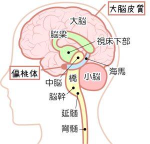 怒りの仕組み 大脳皮質 偏桃体